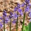 Scilla liliohyacinthus (Pyrenean squill)