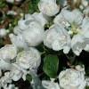 Philadelphus 'Snow White Sensation'