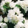 Philadelphus 'Snow White Sensation' (Mock orange 'Snow White Sensation')