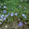 Cyananthus microphyllus  (Small-leaved bluebell-flower)
