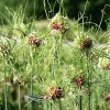 Allium vineale 'Hair' (Crow garlic 'Hair')
