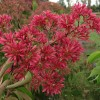 Heptacodium miconioides 'Temple of Bloom' (Seven son flower tree 'Temple of Bloom')