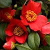 Camellia japonica 'Spring's Promise' (Camellia 'Spring's Promise')