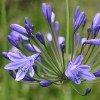 Agapanthus 'Amsterdam' (African lily 'Amsterdam')