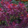 Cotinus coggygria 'Royal Purple' (Smoke bush 'Royal Purple')