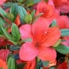 Rhododendron 'Aladdin Scout' (Rhododendron 'Aladdin Scout')