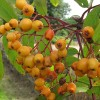 Sorbus 'Lombarts Golden Wonder'