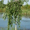 Betula pendula 'Long Trunk'
