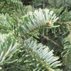 Abies amabilis 'Spreading Star' (Pacific silver fir 'Spreading Star')