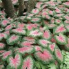 Caladium 'Rosebud' (Angel wings 'Rosebud')