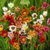 Sparaxis tricolor Mix (Harlequin flower Mix)