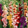 Gladiolus Butterfly Mix (Sword lily Butterfly Mix)