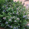 Vaccinium 'Northcountry' (Highbush blueberry 'Northcountry')