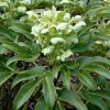 Helleborus argutifolius (Holly-leaved hellebore)