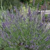 Lavandula x intermedia 'Phenomenal' (Lavender 'Phenomenal')