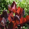 Bergenia purpurascens 'Irish Crimson'