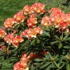 Rhododendron 'Seaview Sunset' (Rhododendron 'Seaview Sunset')