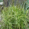 Carex muskingumensis 'Ice Fountains' (Palm branch sedge 'Ice Fountains')