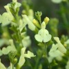 Salvia 'Lemon Light' (Suncrest Series)