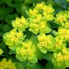 Euphorbia epithymoides 'Major' (Greater cushion spurge)