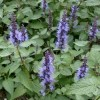 Agastache 'Astello Indigo' (Giant hyssop 'Astello Indigo')