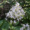 Thalictrum dasycarpum (Purple meadow rue)