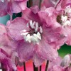 Delphinium 'Magic Fountains Deep Rose