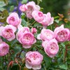 Rosa 'The Mill on the Floss' (Rose 'The Mill on the Floss')