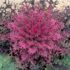 Brassica oleracea (Acephala Group) 'Red Peacock' (Peacock Series) (Ornamental kale 'Red Peacock')