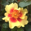 Rosa 'Eye of the Tiger' (Rose 'Eye of the Tiger')