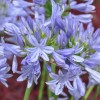 Agapanthus 'Pitchoune Blue' (African lily 'Pitchoune Blue')