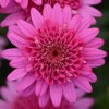 Argyranthemum 'Madeira Crested Hot Pink' (Madeira Series) (Marguerite 'Madeira Crested Hot Pink')
