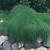 Casuarina glauca 'Cousin It' (Desert she-oak 'Cousin It')