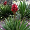 Doryanthes excelsa (Gymea lily )