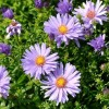 Symphyotrichum dumosum 'Early Blue' (Bushy aster 'Early Blue')