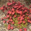 Saxifraga x arendsii 'Highlander White and Red' (Saxifrage 'Highlander White and Red')