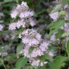 Caryopteris x clandonensis 'Pink Perfection'
