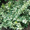 Euonymus fortunei 'Moonshadow' (Spindle 'Moonshadow')