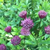 Masterwort 'Claret' (Astrantia major 'Claret')