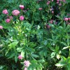 Astrantia major 'Claret' (Masterwort 'Claret')