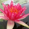 Nymphaea 'Red Spider'