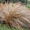 Carex comans