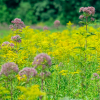Eupatorium fistulosum (Hollow joe-pye weed)