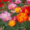 Eschscholzia californica Jelly Beans Mix