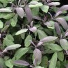Salvia officinalis 'Robin Hill'