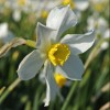 Narcissus 'White Lady' (Daffodil 'White Lady')