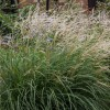 Miscanthus sinensis 'Cute One' (Eulalia 'Cute One')