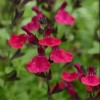 Salvia 'Mirage Cherry Red' (Mirage Series)