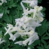 Corydalis solida 'White Swallow' (Solid-rooted fumewort 'White Swallow')
