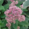 Eupatorium dubium 'Little Joe'